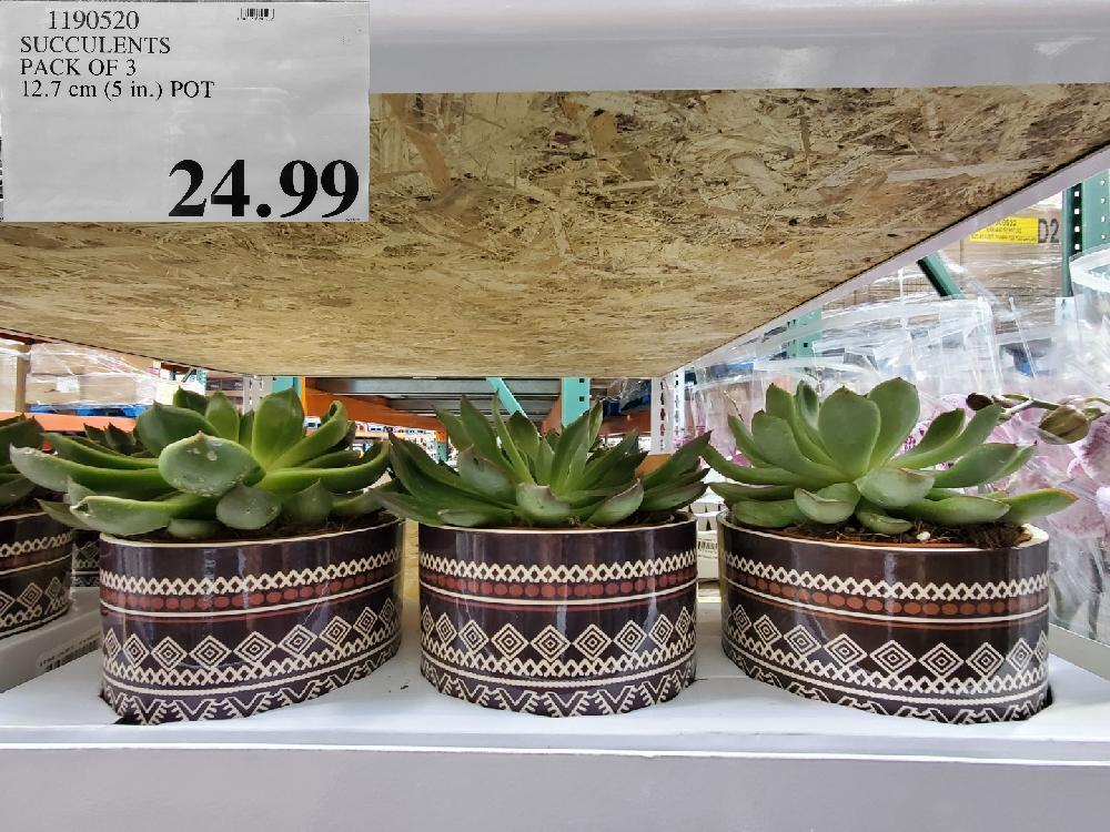 1190520 SUCCULENTS PACK OF 3 $24.99