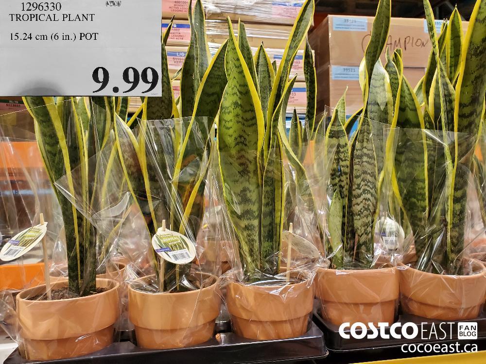 1296330 TROPICAL PLANT 15.24 cm (6 in.) POT $9.99