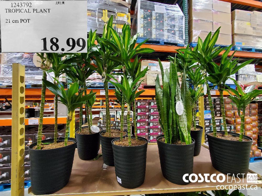 1243792 TROPICAL PLANT 21CM POT $18.99